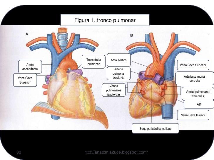 Las relaciones anatómicas importantes en el tórax Flashcards | Easy ...