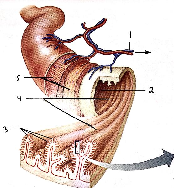 Exercise 38 anatomy of the digestive system