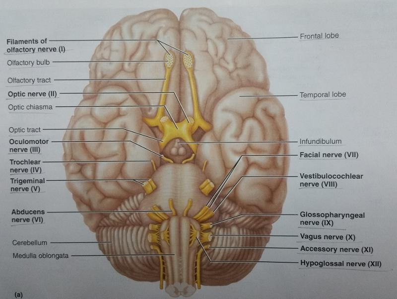 Activity 3: Cranial Nerves and Identifying and Testing Cranial ...