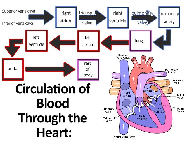 Cardiovascular System Review Flashcards Easy Notecards