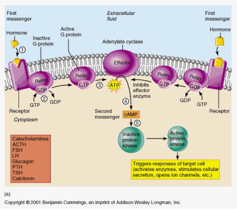 Endocrine System Flashcards