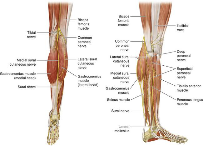 Print GSU Nerves of the Lower Limb flashcards | Easy Notecards