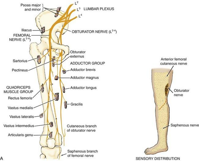 gsu nerves of the lower limb flashcards | easy notecards, Muscles