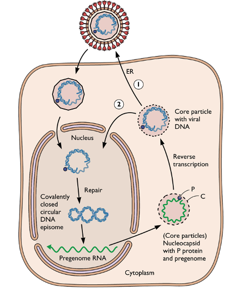 virology 2nd midterm