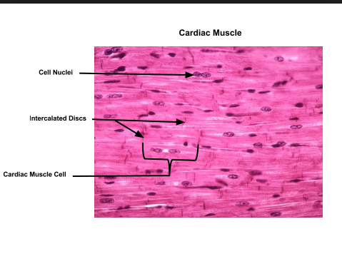 Muscles Ctc Flashcards Easy Notecards