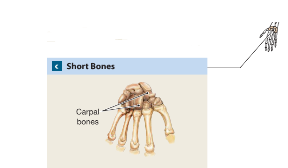 an example of a short bone