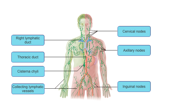 Lymphatic System Mastering Flashcards | Easy Notecards