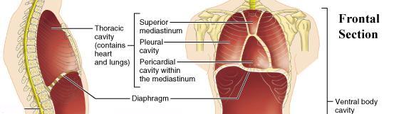 Print A U0026p Ch22 The Respiratory System Flashcards