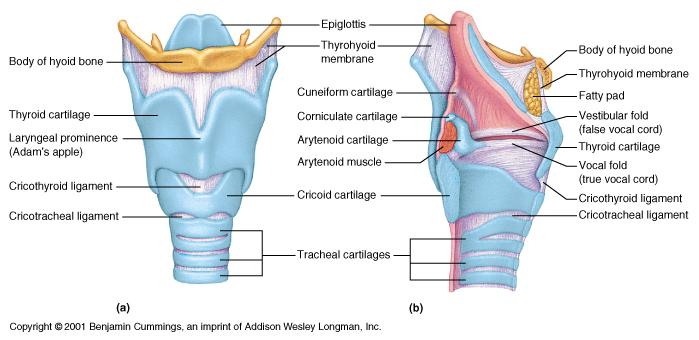 Diagram Of Throat Bones : a p ch22 the respiratory system flashcards easy notecards ~ A.2002-acura-tl-radio.info Haus und Dekorationen