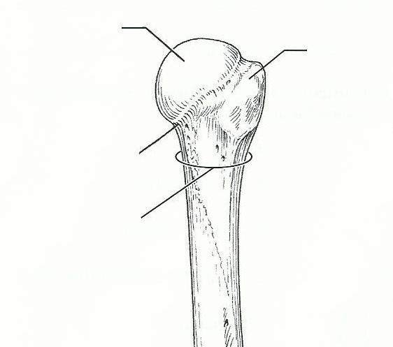 exercise 11 the appendicular skeleton flashcards easy notecards. Black Bedroom Furniture Sets. Home Design Ideas