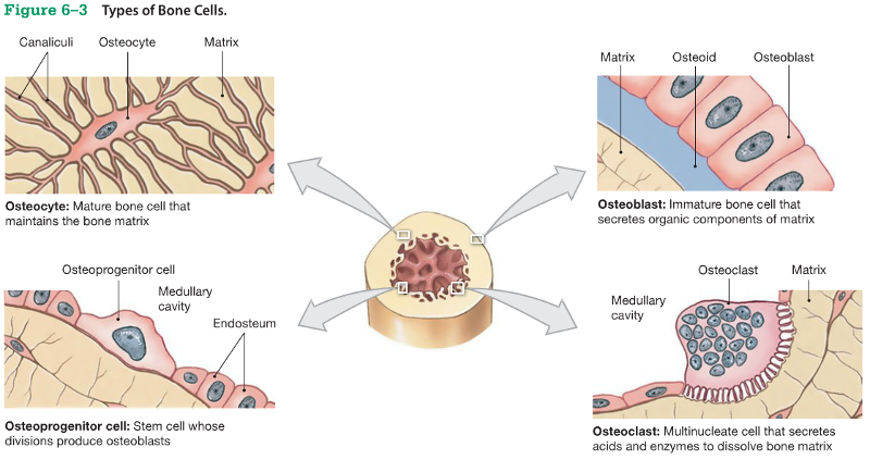 structure and composition of bone tissue Structure and functions of muscular tissue note: this page is part of the section about the structure and function of different tissue types, which is related to the section about histology and cells (incl structure of animal cells, cell division, mitosis, meiosis.