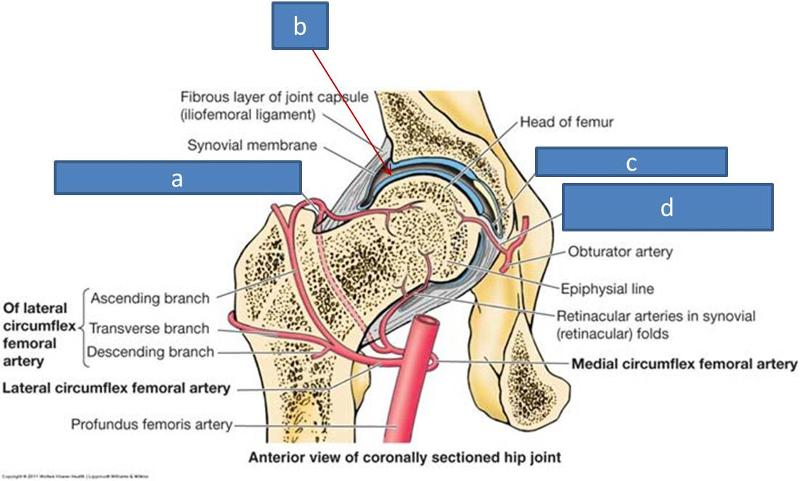 Anatomy Block Iii Shoulder And Hip Joints Flashcards Easy Notecards