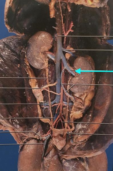 mink abdominal cavity flashcards