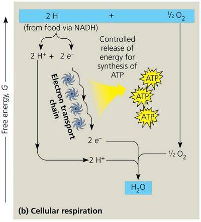 Chapter 9 Cellular Respiration Fermentation Part B Flashcards