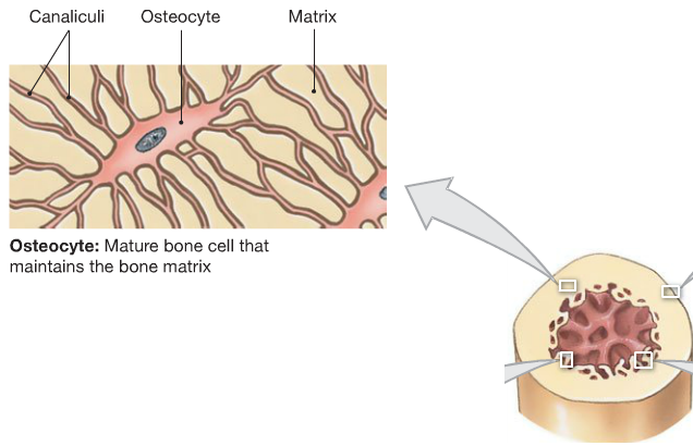 What Is A Mature Bone Cell
