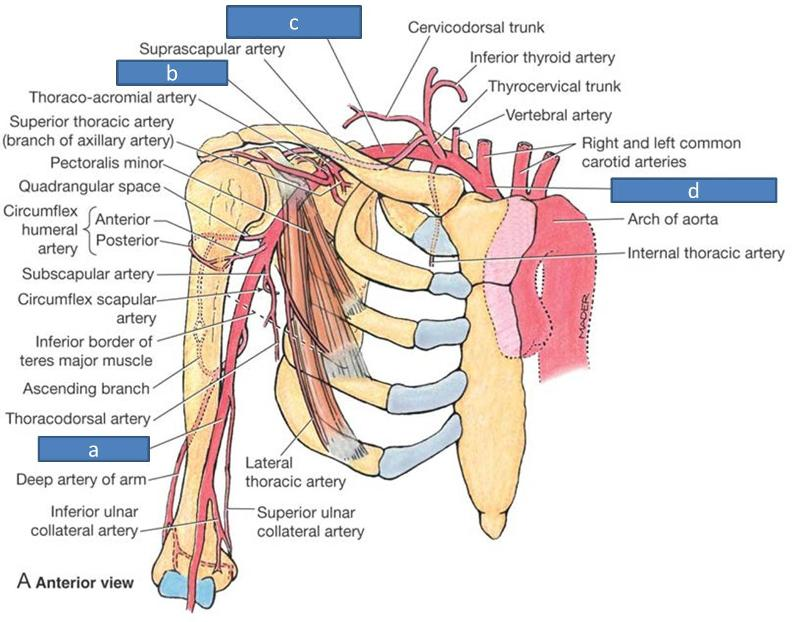 Print Anatomy Block Iii Intro To The Upper Limb Brachial Plexus