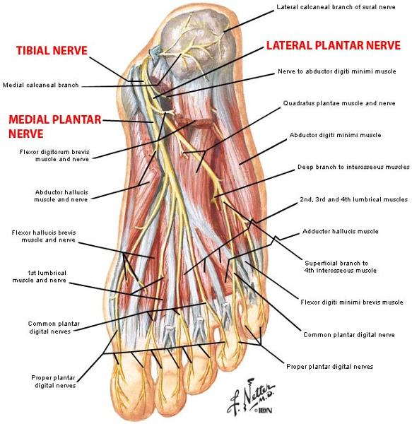 Gsu Nerves Of The Lower Limb Flashcards Easy Notecards