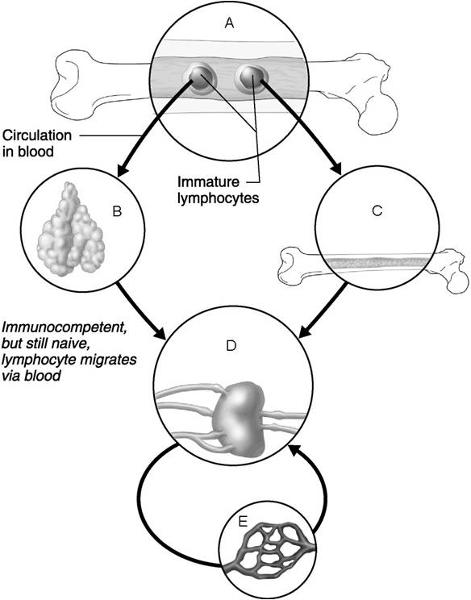 print chapter 21 the immune system  innate and adaptive