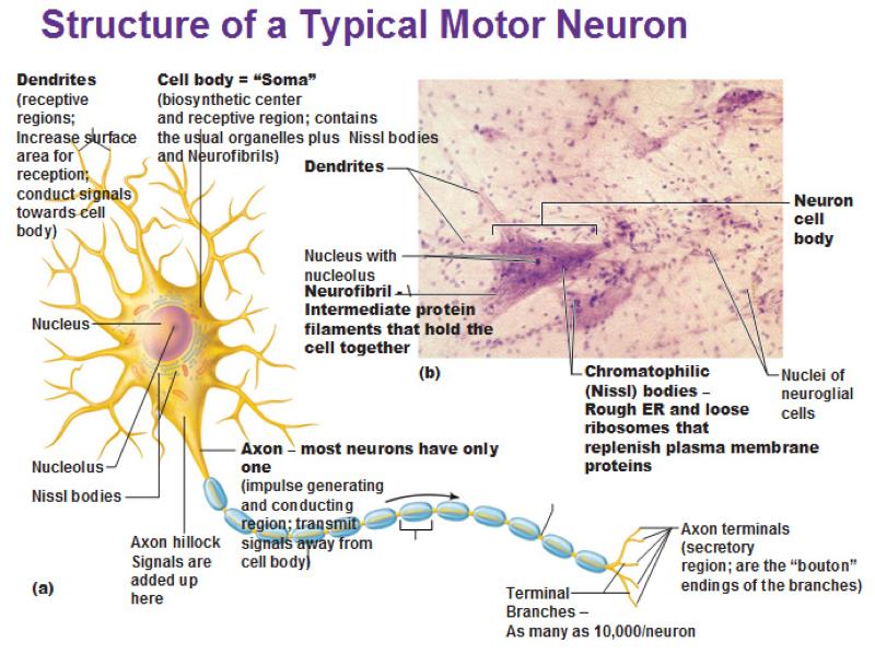 describing the intricate processes of a neuron Understanding microglia-neuron cross talk: relevance of the microglia-neuron the outcome of this intricate process will depend on the prevailing here we describe a protocol for primary microglia-neuron coculture this coculture allows to combine neurons and microglial cells.