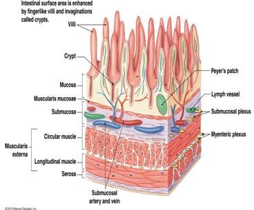 Physiology Exam 4 Flashcards   Easy Notecards