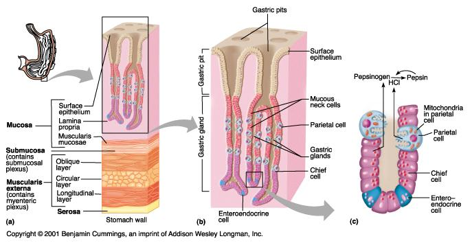 diagram: stomach histology  card image