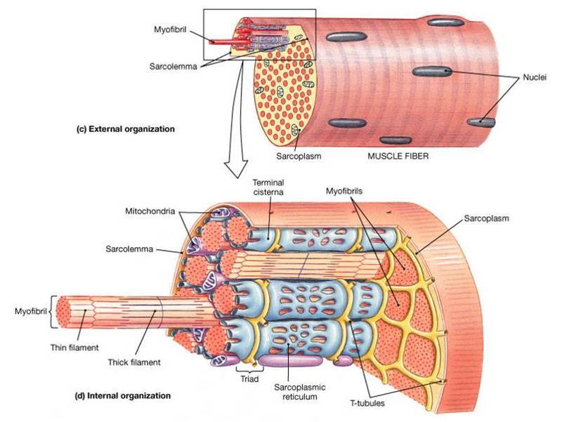 Anatomy Exam 2 Flashcards | Easy Notecards