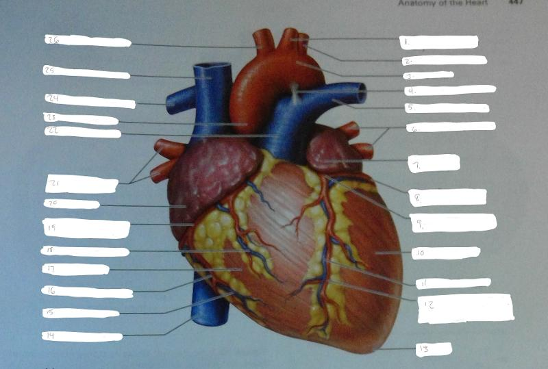 Anatomy of the heart review sheet