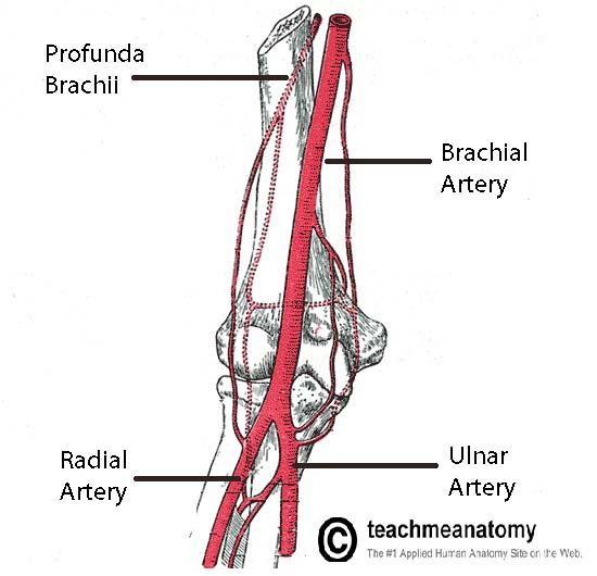 blood vessels of the upper limb flashcards | easy notecards, Cephalic Vein
