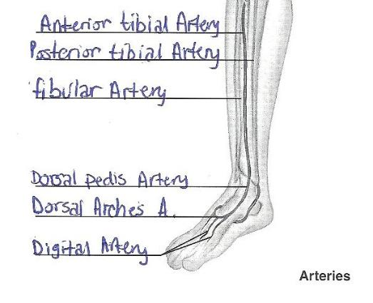 review sheet 32 pulmonary circulation Blood vessel lab prelab questions for  i pulmonary circulation - figure 2129,  32 the femoral artery is a large artery that supplies blood to the thigh,.