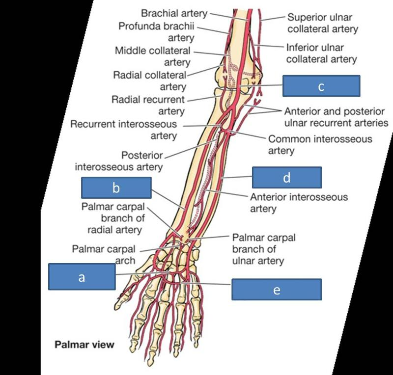 Print Anatomy Block III- Intro to the Upper Limb, Brachial Plexus ...