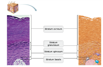 Oviduct10 besides Major Parts Of The Endocrine System Diagram Of The Endocrine System Diagram moreover Images Digestive System Human Body Anatomy Anatomy Digestive System Human Anatomy further All Glands In Body Swollen additionally 13646492. on integumentary system diagram