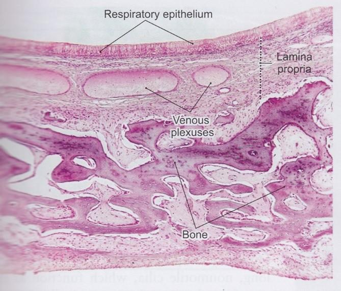 the histology guide respiratory - 669×572