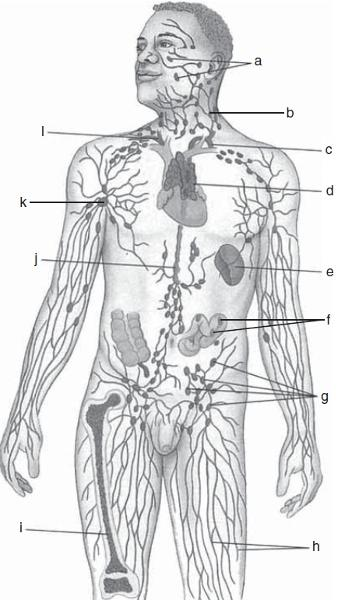 print exercise 35a  the lymphatic system and immune system