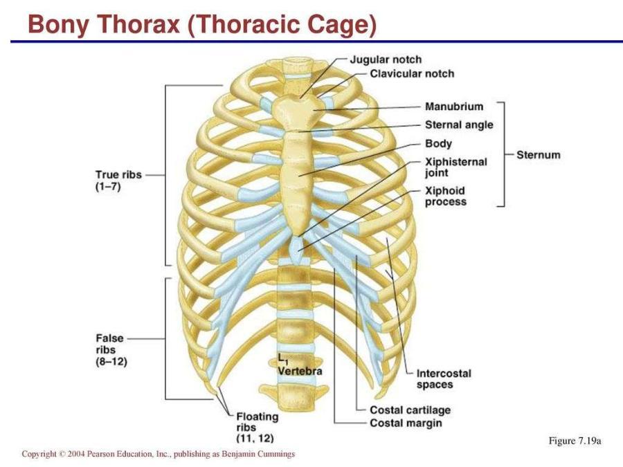 Bony Thorax Diagram Blank Block And Schematic Diagrams