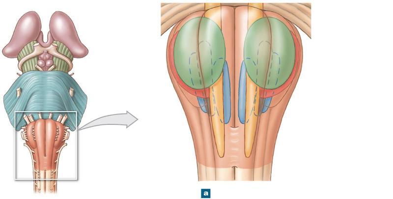 Olivary nucleus 2. cardiocascular centers