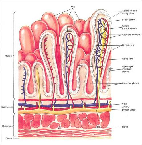 a & p ch23 digestive system flashcards easy notecards : ileum labeled diagram - findchart.co