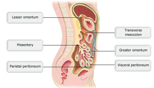 Visceral And Parietal Peritoneum