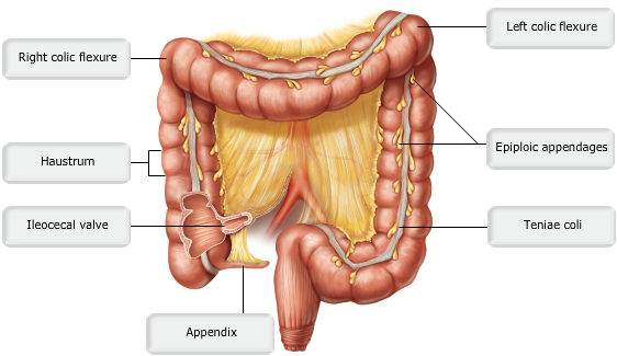 Pharynx furthermore Hag further Horse Colic E moreover Fiber Herb Icon besides The Digestive System. on absorption digestive system