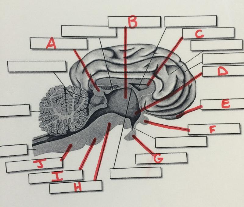 Print Brain Structure Diagram Flashcards Easy Notecards