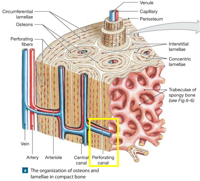 lamellae diagram