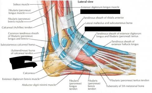 Uncategorized Structures of the Lower Limb Flashcards ... | 488 x 300 jpeg 29kB