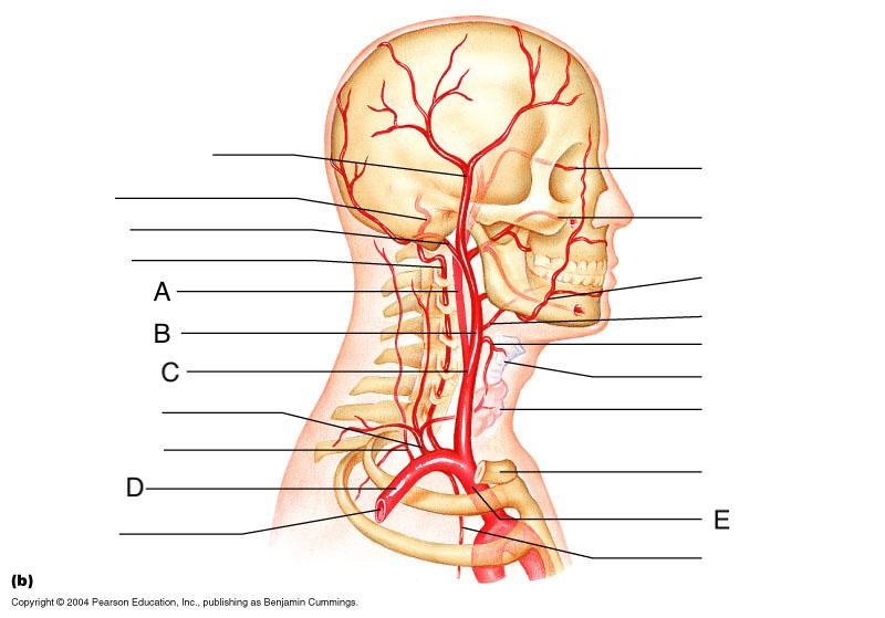 Anatomy Of The Arteries And Veins Flashcards Easy Notecards