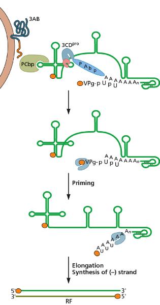 Virology Midterm 1 Flashcards | Easy Notecards Coronavirus Replication