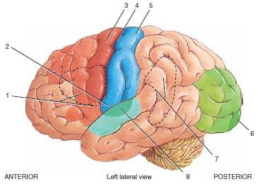 Brain diagram no labels blank brain diagram anatomy picture brain diagram no labels download ccuart Image collections