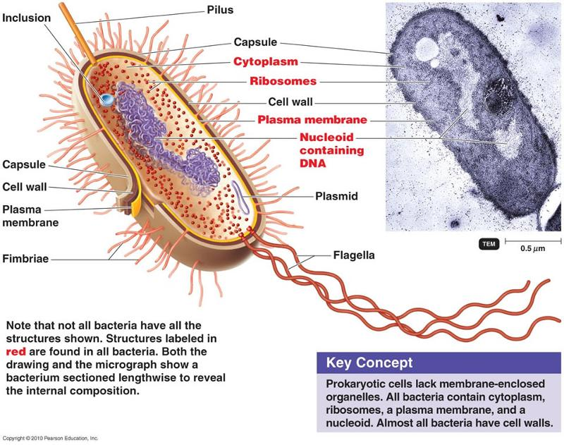 Functional Anatomy Of Prokaryotic And Eukaryotic Cells Flashcards