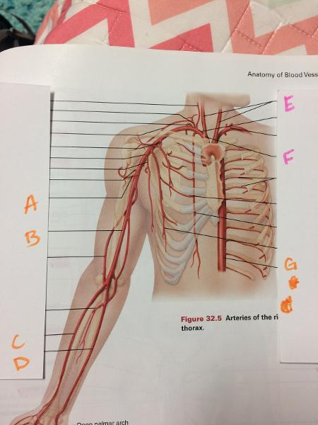 Anatomy Lab Practical Arteries And Veins Flashcards Easy Notecards