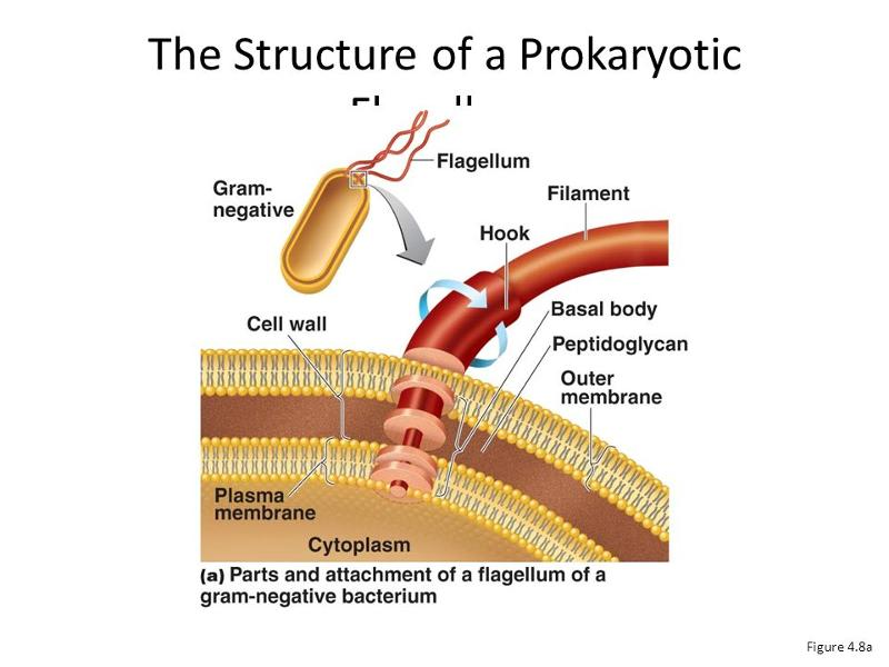 Prokaryotic cell anatomy