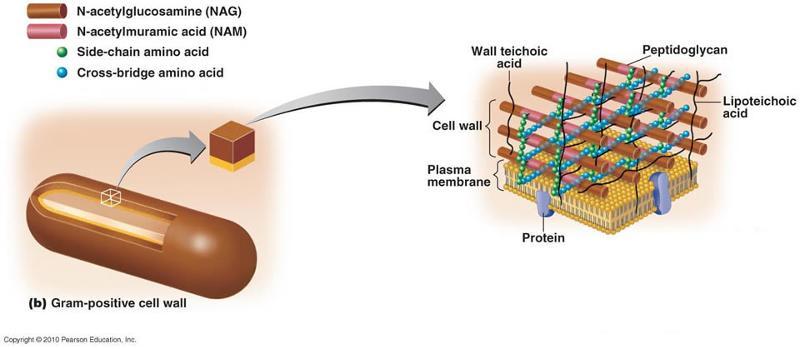 Functional Anatomy Of Prokaryotic And Eukaryotic Cells Flashcards