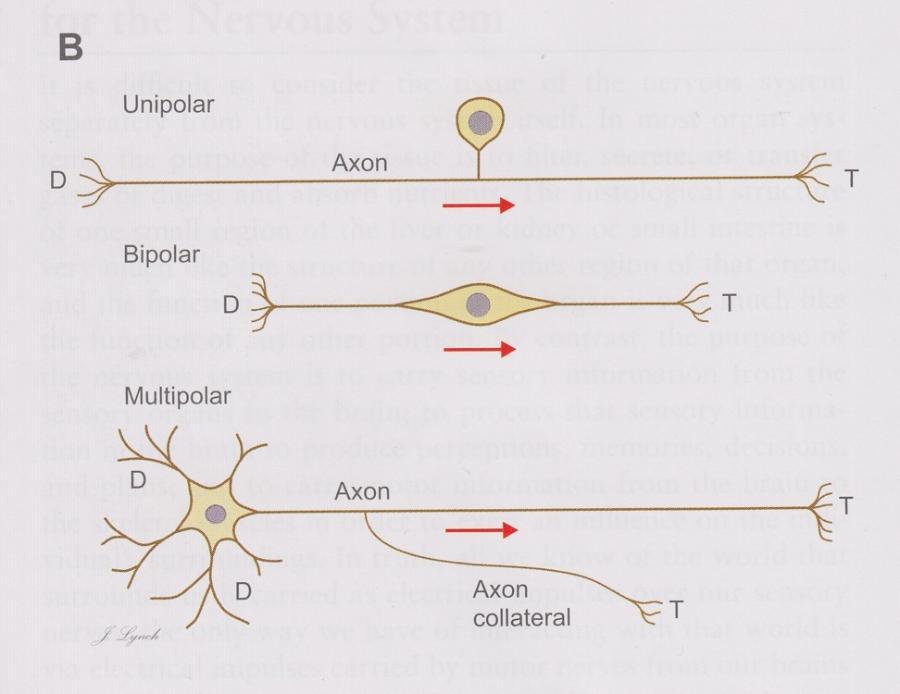 Vertebrate Histology Exam 3 Flashcards | Easy Notecards