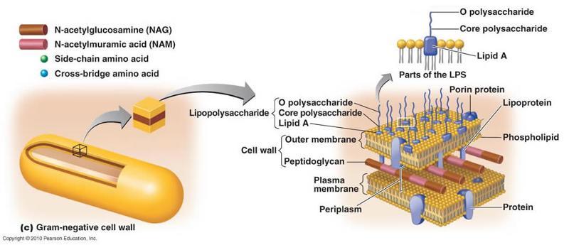 Print Functional anatomy of prokaryotic and eukaryotic cells ...